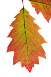 Bright autumn leaves. Isolated on white background stock photo