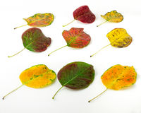 Bright autumn leaves. Isolated on white background Stock Images