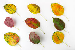 Bright autumn leaves. Isolated on white background Stock Photos