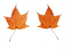 Bright autumn leaves. Isolated on white background. two sides stock image