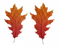 Bright autumn leaves. Isolated on white background stock photography