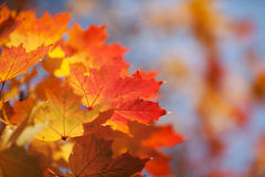 Bright autumn leaves of a maple against the blue sky Royalty Free Stock Photography