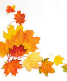 Bright autumn leaves of maple and sycamore. On a white background. Frame. Blank Royalty Free Stock Photography