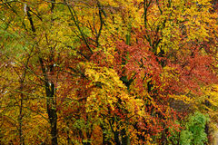 Bright autumn leaves in the natural environment. Fall maple tree. S, yellow orange nature background Royalty Free Stock Image