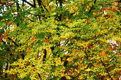Bright autumn leaves in the natural environment. Fall maple tree. S, yellow orange nature background Royalty Free Stock Photo