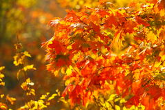 Bright autumn leaves in the natural environment Stock Photography