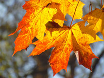 Bright autumn leaves. Bright orange and yellow maple leaves in autumn Royalty Free Stock Photos