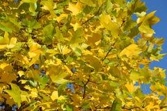 Bright autumn leaves of a plane tree east (Platanus orientalis L Stock Image