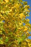 Bright autumn leaves of a plane tree east  Platanus orientalis L Stock Images