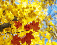 Bright autumn leaves Royalty Free Stock Photography