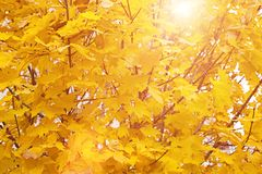 Bright autumn leaves in the sun. Golden autumn - sunlight and yellow leaves. Bright autumn leaves in the sun Stock Images