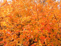 Bright autumn leaves on the tree. Bright Sunny orange autumn foliage on the tree Stock Images