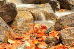 Bright Autumn Leaves in a Waterfall. Bright Autumn colors in a waterfall near Glacier National Park and the Hungry Horse Reservoir Royalty Free Stock Photo