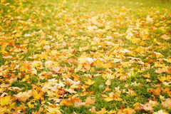 Bright autumn maple leaves on grass Royalty Free Stock Images