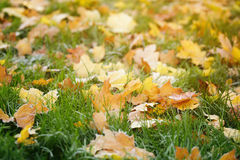 Bright autumn maple leaves on grass Stock Photo