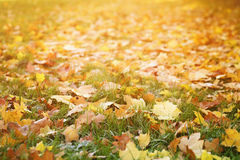 Bright autumn maple leaves on grass Royalty Free Stock Photography