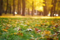 Bright autumn maple leaves on grass Royalty Free Stock Photos