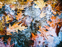 Bright autumn maple leaves in water puddle during rain Royalty Free Stock Photography