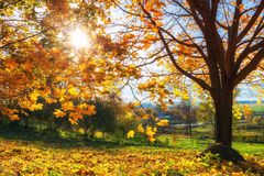 Bright autumn maple tree. Colorful tree and blue sky in the autumn park Royalty Free Stock Photos