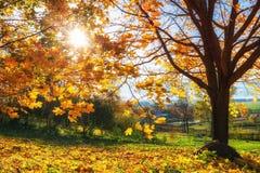 Bright autumn maple tree Royalty Free Stock Photos