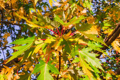 Bright autumn maple twig. Photo took  in , Russia , photo is usable on picture post card, calendar, gardening, for wallpaper Stock Photography