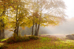 Bright autumn morning in the beech forest. Royalty Free Stock Photos