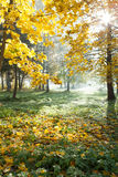 Bright autumn nature. Maple and sunlight Stock Image