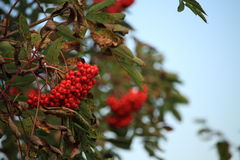Bright autumn red berries on a bush in fall with a light blue sky Stock Photo