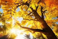 Autumn sun illuminating vibrant yellow foliage Royalty Free Stock Photos