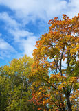 Bright autumn tree in park Stock Images