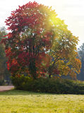 Bright autumn tree in park. Royalty Free Stock Image