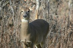 Curious Whitetail Doe In A Field. Bright autumn vista on a curious whitetail deer doe, standing alone in a brushy field habitat Royalty Free Stock Image