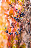 Bright autumn wild grapes with colorful background. Stock Photo