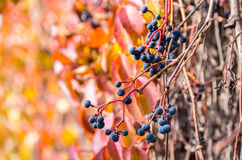 Bright autumn wild grapes with colorful background. Stock Photos