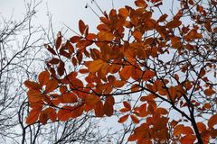 Bright autumnal leafage of European smoke-tree. Bright autumnal leafage of European smoke tree Stock Photo
