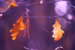 Bright autumnal oak leaves on the branches. Royalty Free Stock Photo
