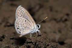 Bright Babul Blue butterfly Royalty Free Stock Photography