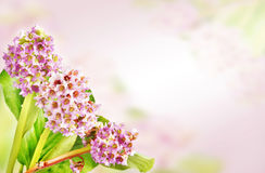Bright background with Bergenia flowers in a corner Stock Images