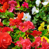 Bright background of blooming begonias. Focus on the foreground. Royalty Free Stock Photography