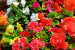 Bright background of blooming begonias. Focus on the foreground. Stock Photography