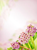 Bright background with blossoming Bergenia flowers in a corner Royalty Free Stock Image