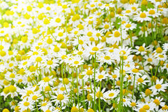 Free Bright Background Of Chamomile Stock Image - 39720661