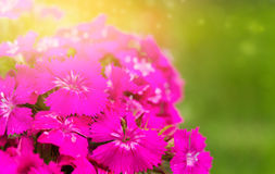 Bright background with pink flowers Royalty Free Stock Photography