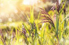 Bright background with reeds Royalty Free Stock Photo