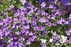 Bright Background of Small Purple flowers Stock Photos