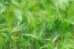 Bright background of wheat ears royalty free stock photos