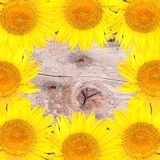 Bright background  with yellow sunflowers Stock Photo