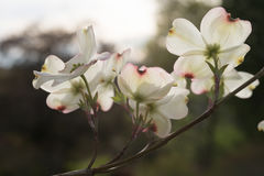Bright Backlit Dogwood Flowers. Dogwood blossoms backlit by strong setting sun Royalty Free Stock Images