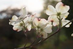 Bright Backlit Dogwood Flowers Royalty Free Stock Images