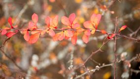 Bright barberry in the fall. Ornamental shrubs and berries royalty free stock photography